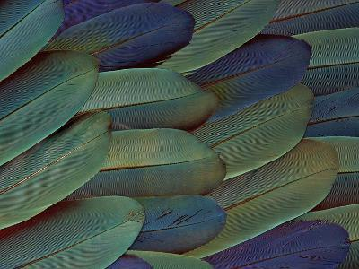 Scarlet and Blue Gold Macaw Wing Feathers-Darrell Gulin-Photographic Print