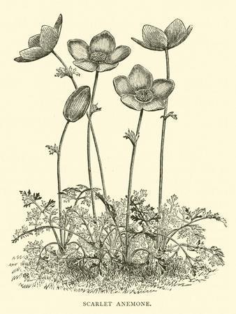 https://imgc.artprintimages.com/img/print/scarlet-anemone_u-l-pp7wz90.jpg?p=0