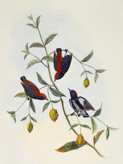 Scarlet-Backed Flowerpecker (Dicaeum Cruentatum)--Giclee Print