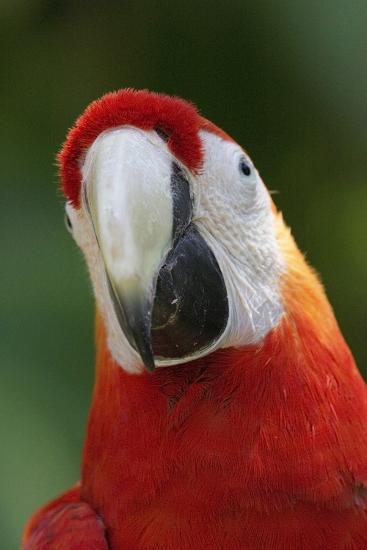 Scarlet Feather-Susann Parker-Photographic Print