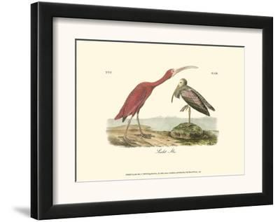 Scarlet Ibis-John James Audubon-Framed Art Print