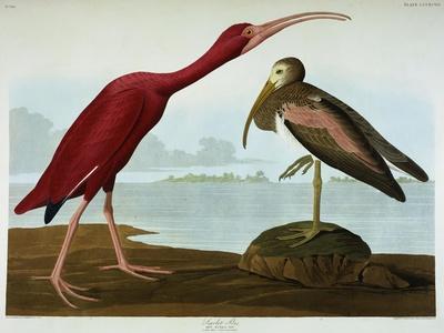 https://imgc.artprintimages.com/img/print/scarlet-ibis_u-l-pcj11y0.jpg?p=0
