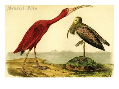 Scarlet Ibis-John James Audubon-Art Print