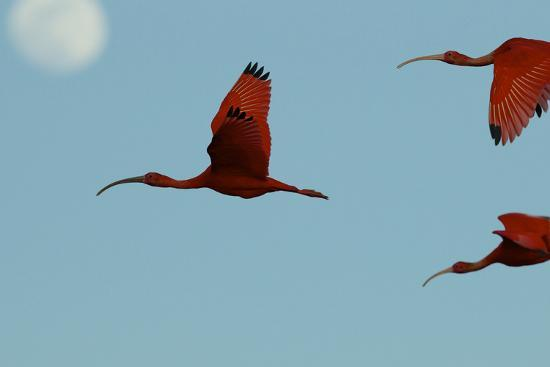 Scarlet Ibises Fly Though the Sky with the Moon Behind in Delta Amacuro, Venezuela-Timothy Laman-Photographic Print
