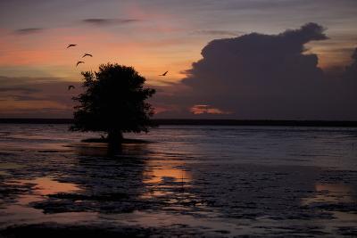 Scarlet Ibises Fly Through the Orange Sky at Sunset over Orinoco River Delta, Venezuela-Timothy Laman-Photographic Print