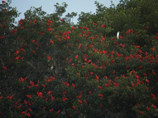Scarlet Ibises Roosting in Mangrove Trees, a Lone Egret Among Them-Tim Laman-Photographic Print