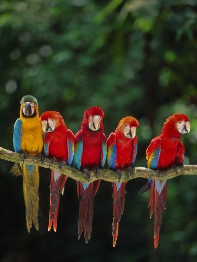 Scarlet Macaw, Ara Chloroptera, and Blue-And-Yellow Macaw, Ara Ararauna, Tambopata Nat'l Res, Peru-Frans Lanting-Photographic Print