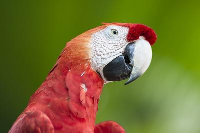 Scarlet Macaw (Ara Macao), Amazon, Brazil, South America-G&M Therin-Weise-Photographic Print