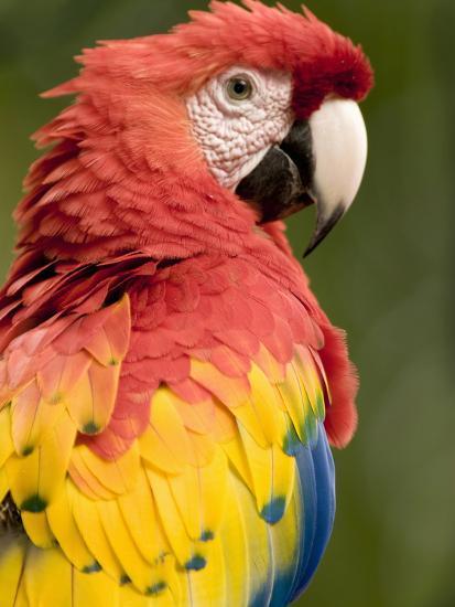 Scarlet Macaw (Ara Macao), Costa Rica-Gregory Basco-Photographic Print