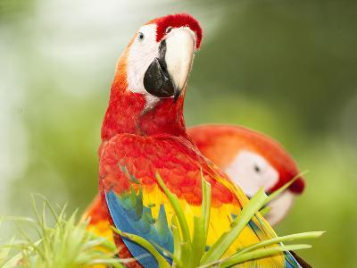 Scarlet Macaw (Ara Macao), Sarapiqui, Costa Rica-Mary Ann McDonald-Photographic Print