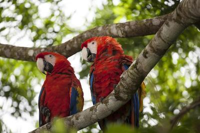 Scarlet Macaw (Ara Macao) Wild, Chiapas State, Mexico-Michel Benoy Westmorland-Photographic Print