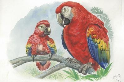 Scarlet Macaw Ara Macao with Chick--Giclee Print