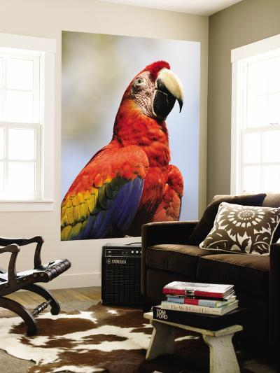 Scarlet Macaw (Ara Macao)-Shannon Nace-Wall Mural