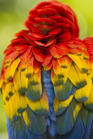 Scarlet Macaw, Costa Rica--Photographic Print