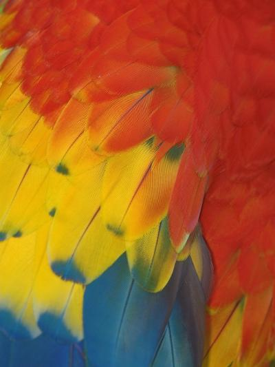 Scarlet Macaw Feathers-Bob Krist-Photographic Print