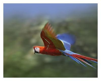 Scarlet Macaw flying, Costa Rica-Tim Fitzharris-Art Print