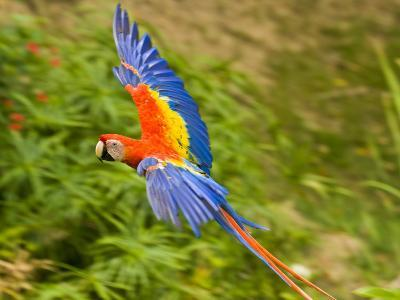 Scarlet Macaw Flying in Gumbo Limbo Park, Roatan-Michael Melford-Photographic Print