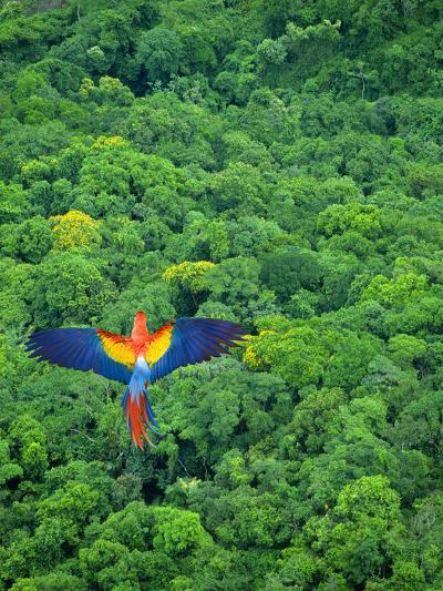 Scarlet Macaw Flying over Rainforest-Jim Zuckerman-Photographic Print
