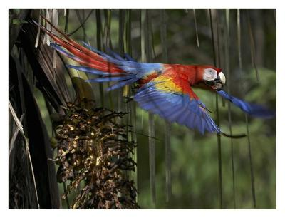 Scarlet Macaw flying with palm nut, Costa Rica-Tim Fitzharris-Art Print