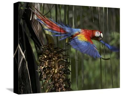 Scarlet Macaw flying with palm nut, Costa Rica-Tim Fitzharris-Stretched Canvas Print