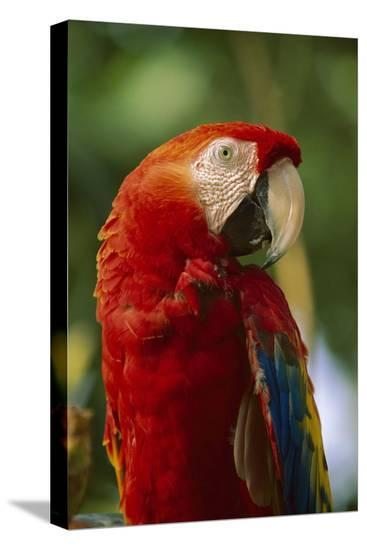 Scarlet Macaw, native to Central and South America-Tim Fitzharris-Stretched Canvas Print