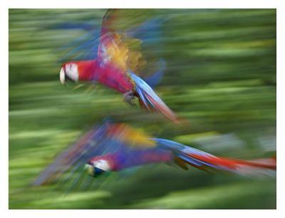 Scarlet Macaw pair flying, Costa Rica-Tim Fitzharris-Art Print