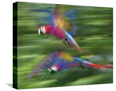Scarlet Macaw pair flying, Costa Rica-Tim Fitzharris-Stretched Canvas Print