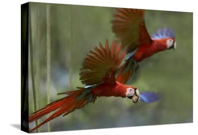 Scarlet Macaw pair flying with palm fruit, Costa Rica-Tim Fitzharris-Stretched Canvas Print