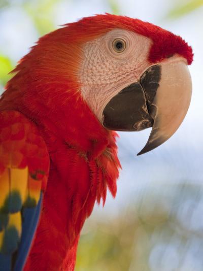 Scarlet Macaw, Roatan, Bay Islands, Honduras, Central America-Jane Sweeney-Photographic Print