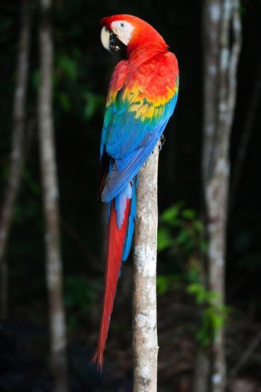 Scarlet Macaw's Feathers-Howard Ruby-Photographic Print