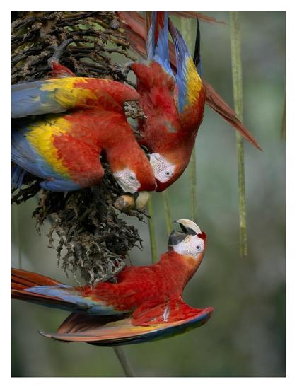 Scarlet Macaw trio feeding on palm fruits, Costa Rica-Tim Fitzharris-Art Print
