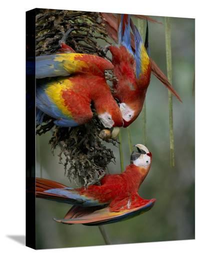 Scarlet Macaw trio feeding on palm fruits, Costa Rica-Tim Fitzharris-Stretched Canvas Print