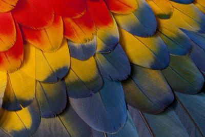 https://imgc.artprintimages.com/img/print/scarlet-macaw-wing-covert-feathers_u-l-q12t2b40.jpg?p=0