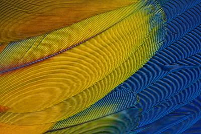 Scarlet Macaw Wing Covert Feathers-Darrell Gulin-Photographic Print