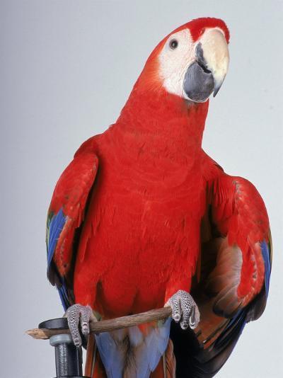 Scarlet Macaw-Dan Gair-Photographic Print