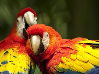 Scarlet Macaws at Zoo Ave Park, Outside San Jose-Paul Souders-Photographic Print