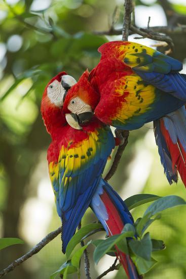 Scarlet Macaws, Costa Rica-Paul Souders-Photographic Print