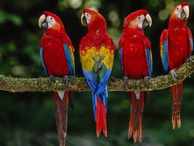 Scarlet Macaws on Branch, Ara Macao, Tambopata National Reserve, Peru-Frans Lanting-Photographic Print