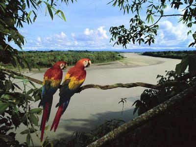 Scarlet Macaws Overlooking Tambopata River, Ara Macao, Tambopata National Reserve, Peru-Frans Lanting-Photographic Print