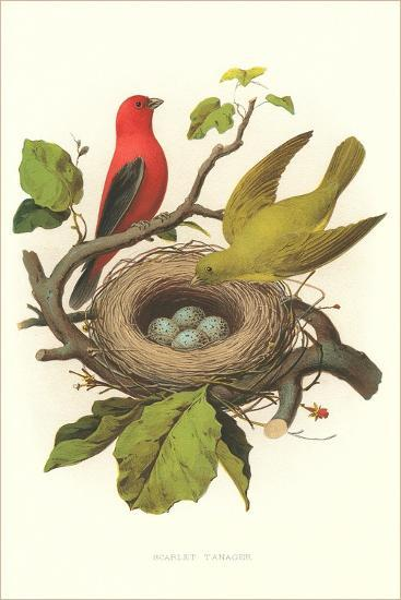 Scarlet Tanager Nest and Eggs--Art Print