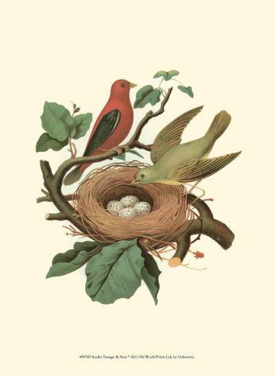 Scarlet Tanager & Nest--Art Print