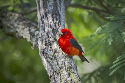 Scarlet Tanager (Piranga Ludoviciana) Male Perched-Larry Ditto-Photographic Print