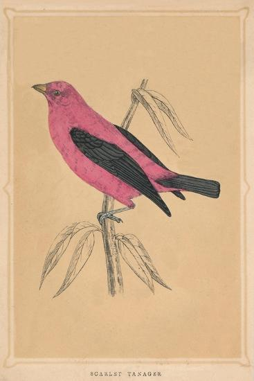 'Scarlet Tanager', (Piranga olivacea), c1850, (1856)-Unknown-Giclee Print