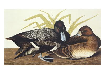 Scaup Duck-John James Audubon-Art Print