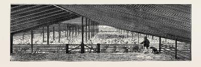 Scene at an Australian Sheep Station--Giclee Print