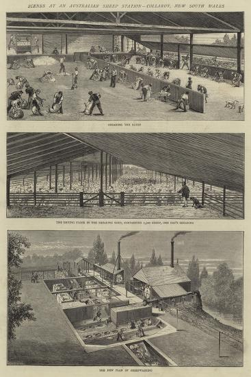 Scenes at an Australian Sheep Station, Collaroy, New South Wales--Giclee Print