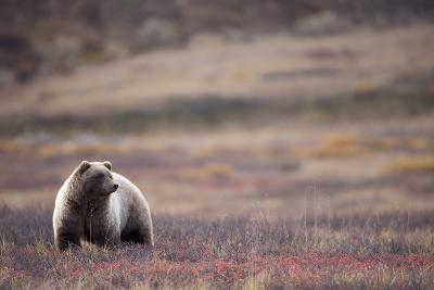 Scenic View of a Grizzly Bear Standing in the Fall Tundra, Denali National Park, Interior Alaska-Design Pics Inc-Photographic Print