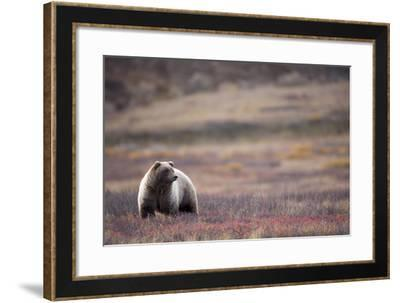 Scenic View of a Grizzly Bear Standing in the Fall Tundra, Denali National Park, Interior Alaska-Design Pics Inc-Framed Photographic Print