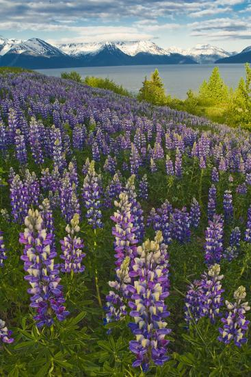 Scenic View of Turnagain Arm and Chugach Mountains Near Bird Point with Lupine Meadow-Design Pics Inc-Photographic Print
