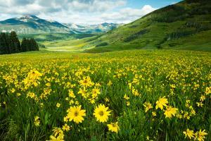 Scenic View of Wildflowers in a Field, Crested Butte, Colorado, USA